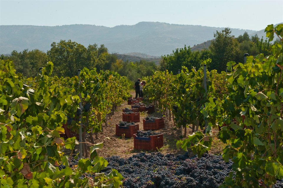 Chios wines